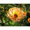 фоновый рисунок цветок календулы