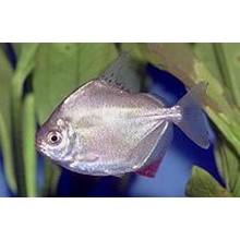 Аквариумные рыбки разведение Метиниса серебряный доллар