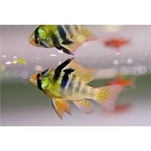 Aquarium fish breeding Apistogramma Ramirez