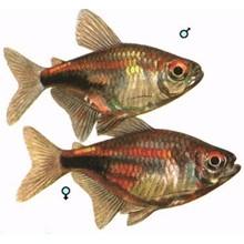 Аквариумные рыбки разведение Пульхера