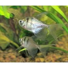 Аквариумные рыбки разведение Тернеции